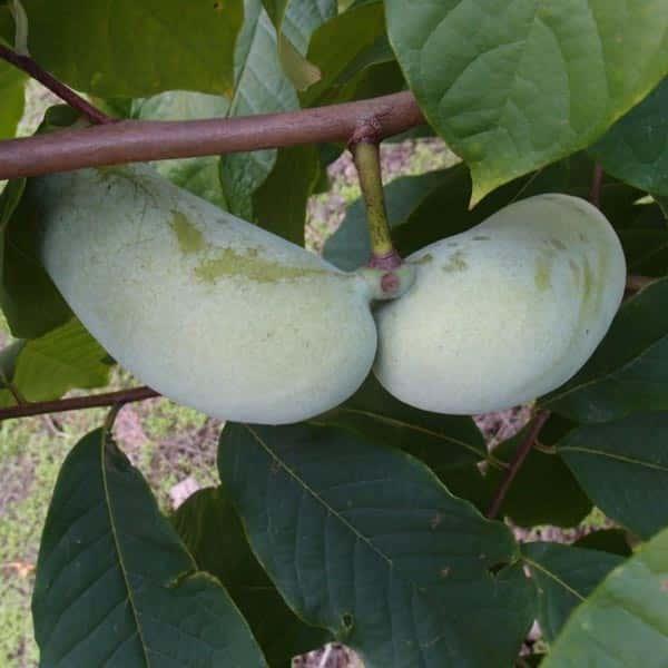 Netradiční ovocné druhy